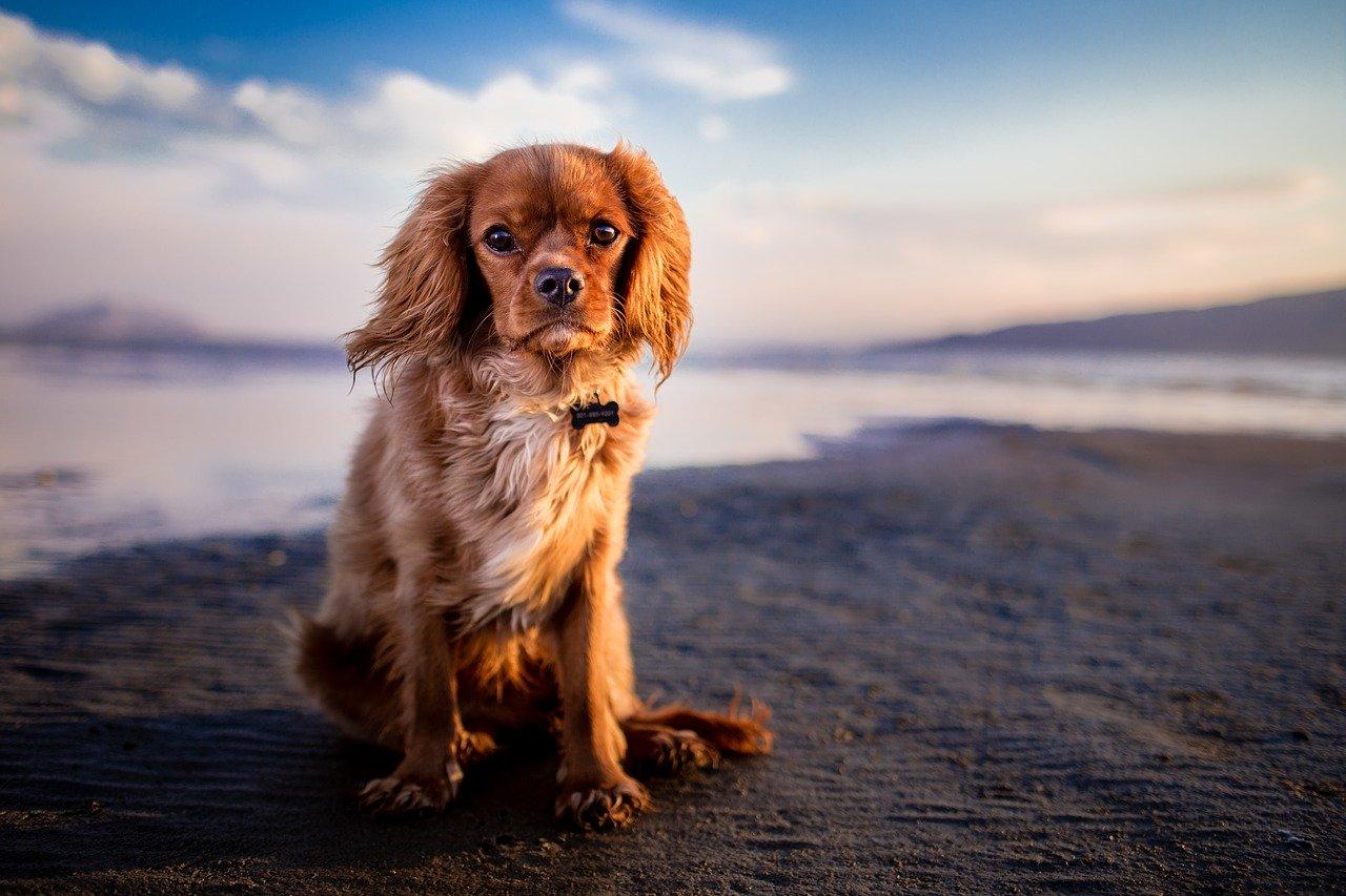 Cani piccolissima taglia pelo corto: 5 razze da scegliere